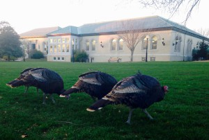 Main-Turkeys