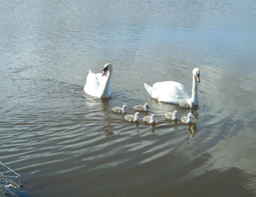 Swans and cygnets at Swanpool