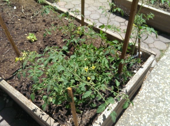 The beginning of a tomato plant boom.