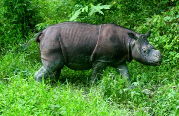 Bornean Rhinoceros
