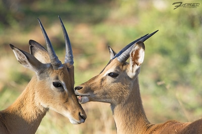 Image result for african gnus and antelopes
