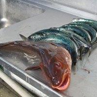 Fischausbeute der letzten Angeltour