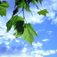 Unter dem Ahorn-Baum...