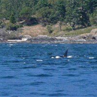 Ein Orca bei der Jagd vor unserer Nase