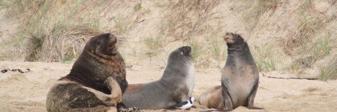 New Zealand Fur Seals - wir nennen sie mal einfach Seelöwen