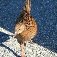 Ein Weka - Diese putzigen, flugunfähigen Vögel begegnen einem an der Westküste überall