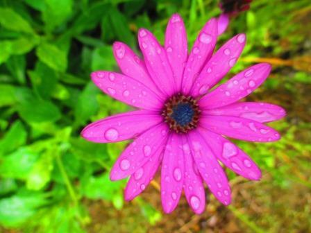 Blume in Rosa. An Regentropfen.