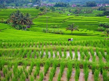 Rizières de Jatiluwih, Bali