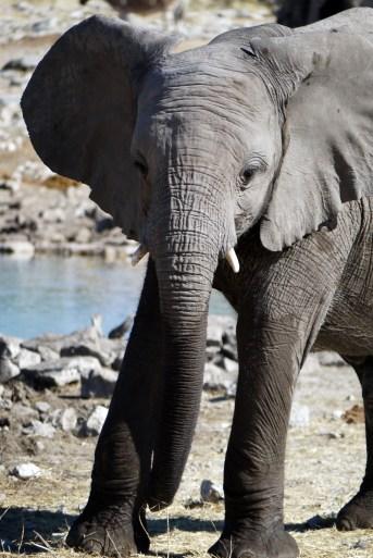 Jeune éléphant à Etosha (Namibie)