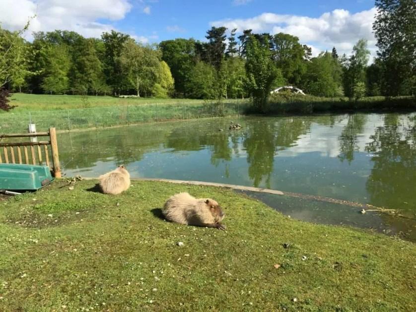 famille nomade digitale-Parc zoologique de Thoiry- Capybara au bord de l eau