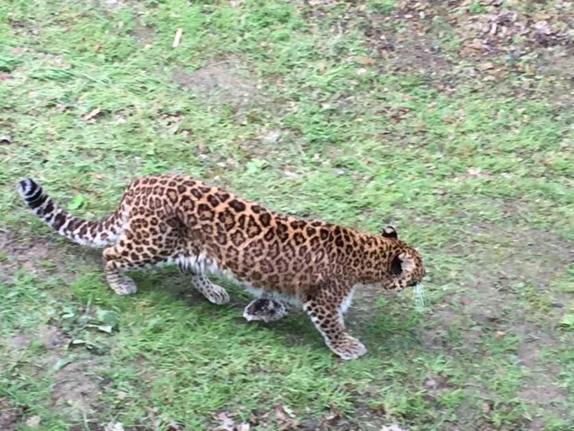 famille nomade digitale-Parc zoologique de Thoiry- leopard en liberté