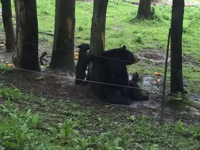 famille nomade digitale-Parc zoologique de Thoiry- maman ours et ourson dans les bois
