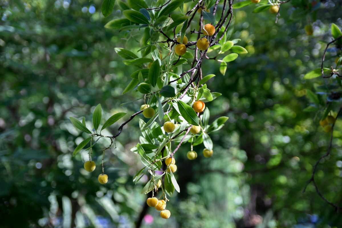 arbre fruitié