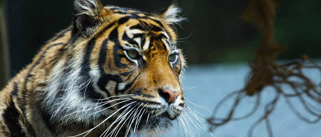 generic-animals-sumatran-tiger