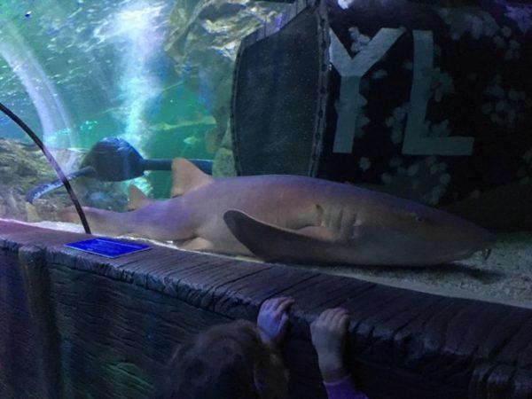 Blackpool Sea Life Centre Feb 2019 Family Clan Shark