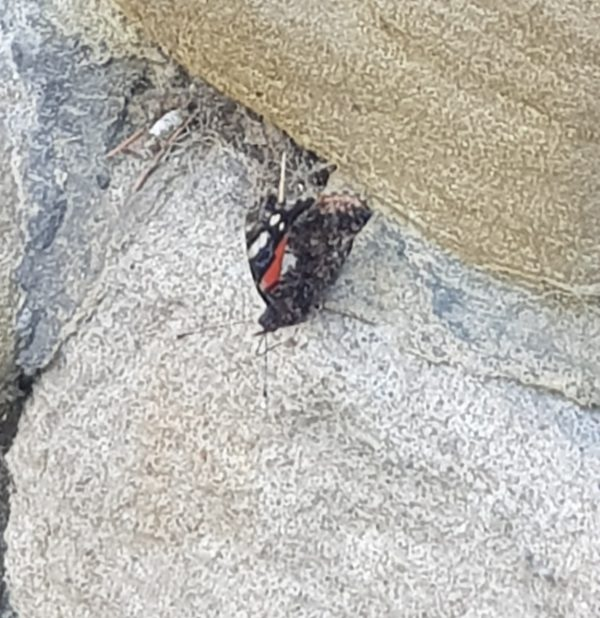 Red Admiral makes a Visit Sunday Snap 28th July 2019 Family Clan