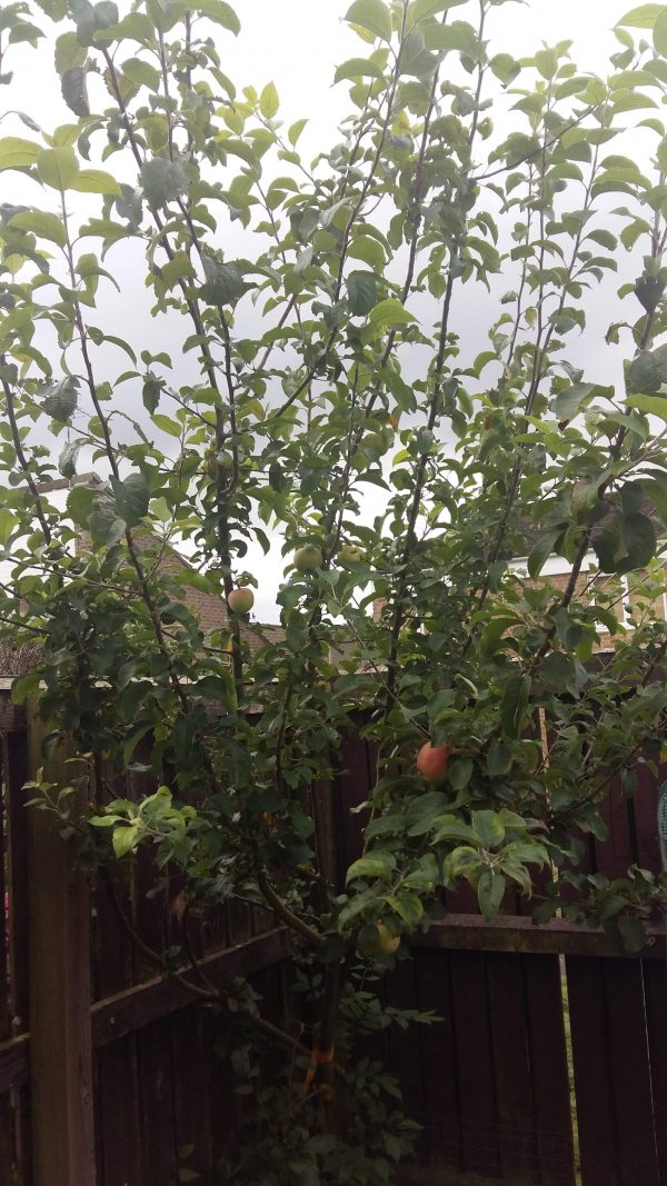 First Apple from the apple tree by Family Clan 2