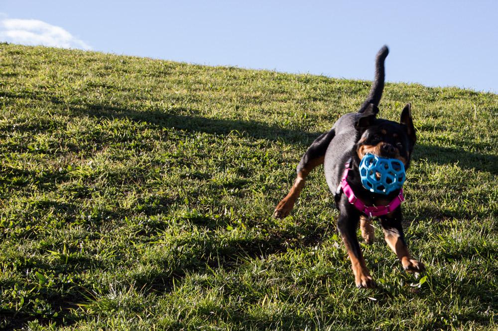 Rehabilitación y cuidados esquelético-musculares del perro deportivo, de familia y/o con problemas de conducta