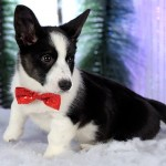Dobby is a Cardigan Welsh Corgi owned by Theresa Calter. Photo courtesy of Jerry & Lois Photography.