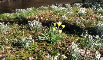 Daffodils at River Aeron