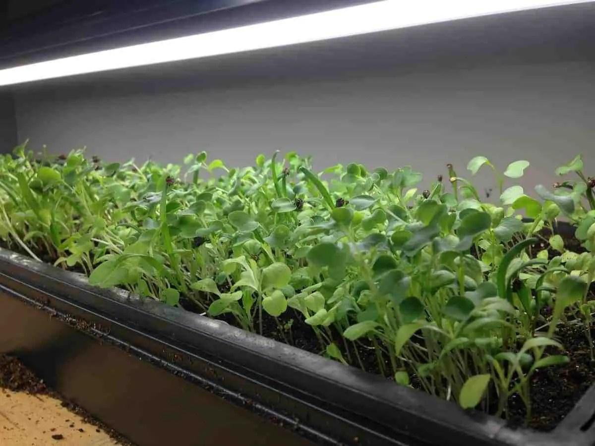 Growing Indoor Microgreens