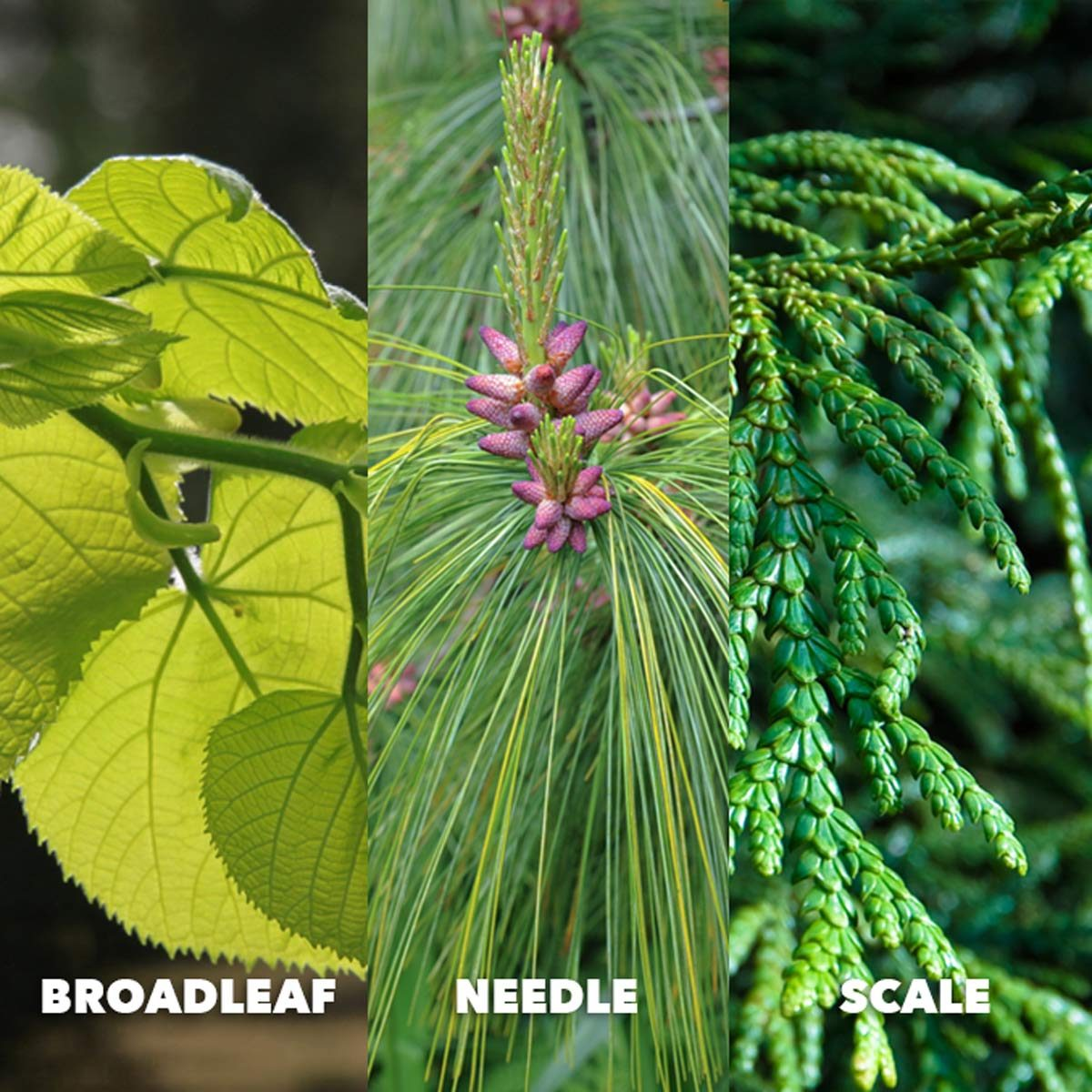 How To Identify Tree Species
