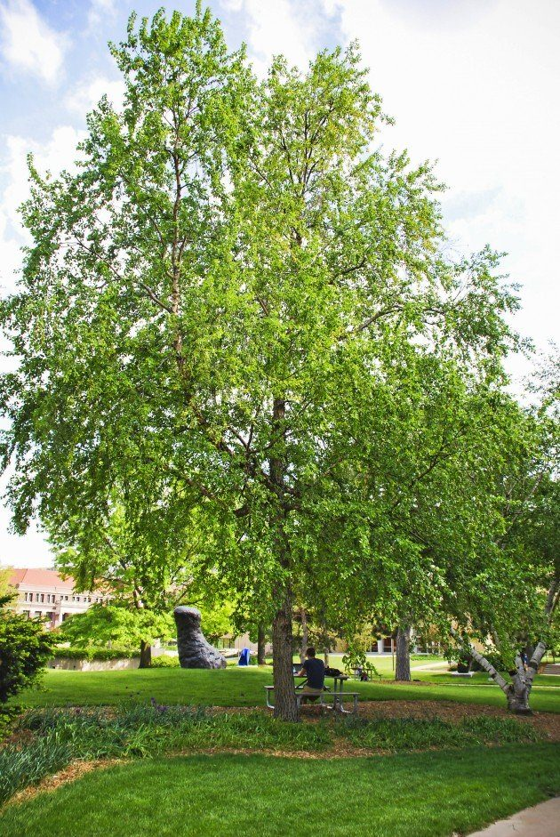 Top 10 Fast Growing Trees The Family Handyman