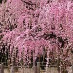 結城神社の梅の見頃時期と梅まつり・開花情報