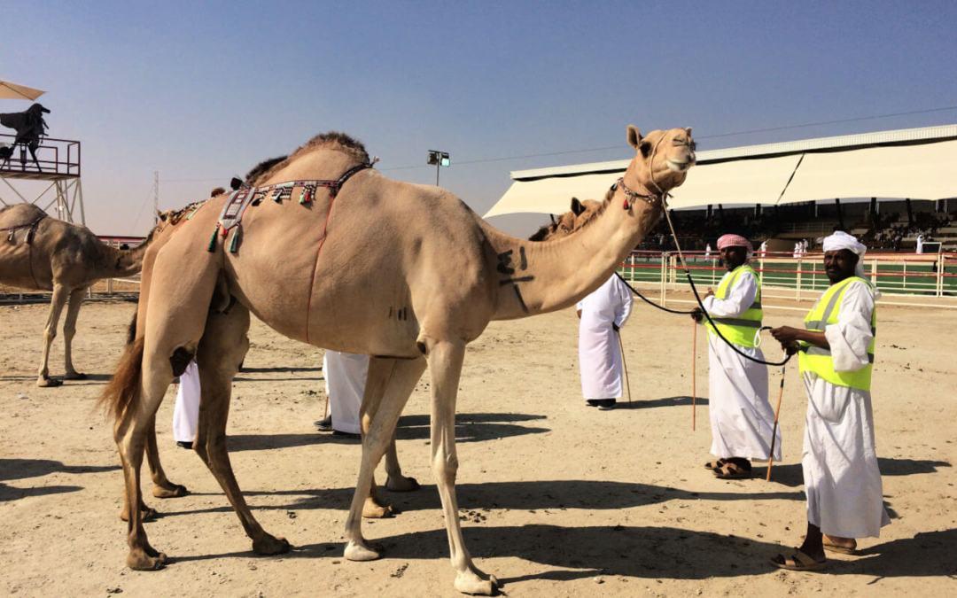 Camel Mazayna Al Dhafra festival