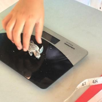 Weighing and measuring turtles