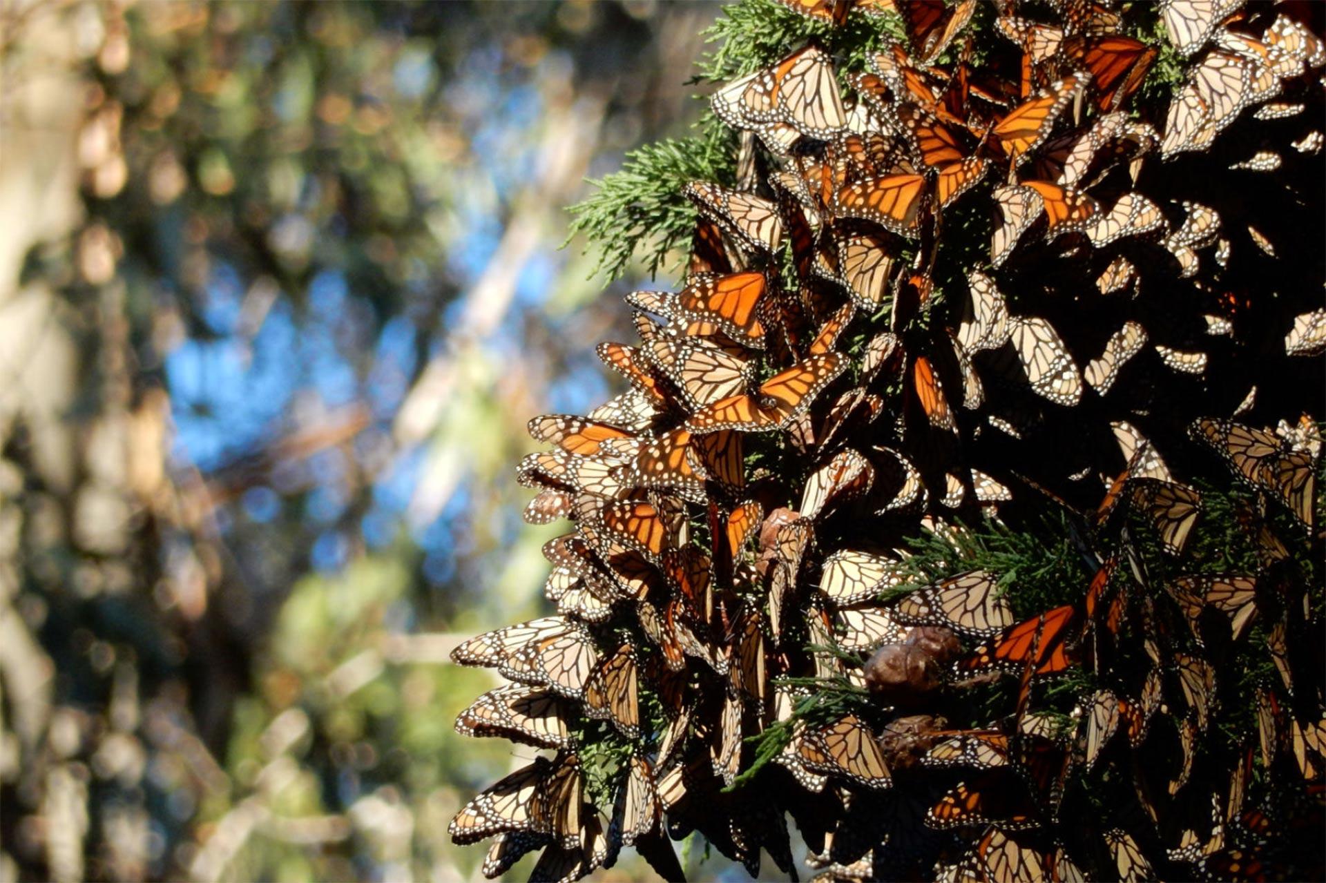 Monarch Grove in Pismo Beach; Courtesy of City of Pismo Beach