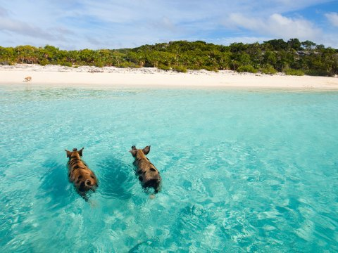 Wild Pigs in the Bahamas