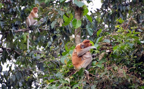 la giungla del Borneo scimmie nasiche