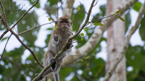 la giungla del Borneo scimmia