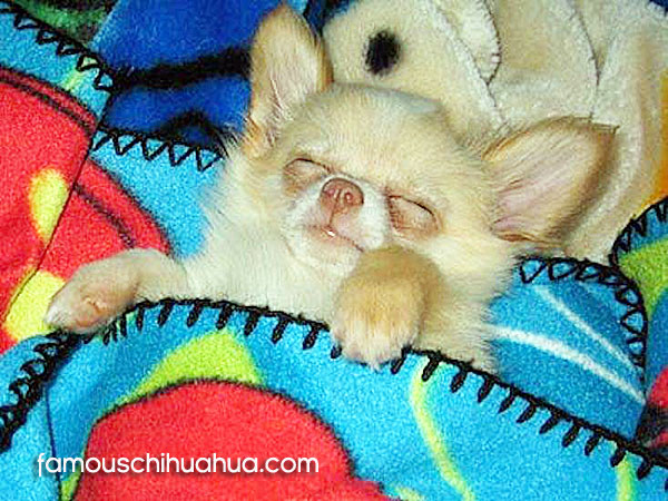 Famous Chihuahua A Fun Site Featuring The Worlds Cutest