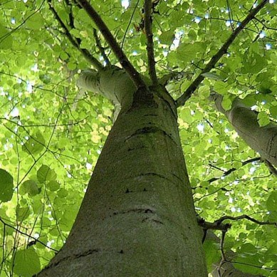 World first as scientists sequence the genome of the Ash tree