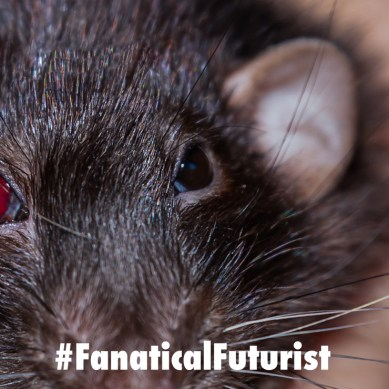 Researchers create a cyborg rat that can be controlled with human mind control