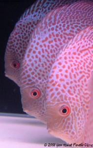 Discus Red spotted snakeskin