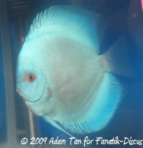 Discus blue diamond Aquarama 2009