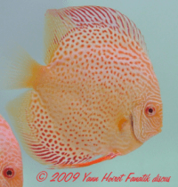 Photo Discus Red spotted snakeskin albinos
