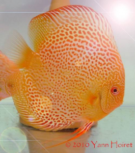 Discus red spotted snakeskin albino