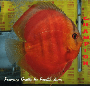 Discus red cover best in show