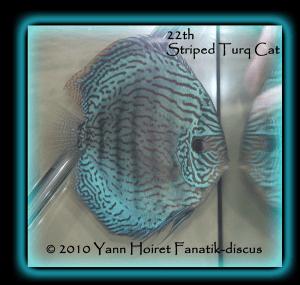 Discus turquoise strié Duisbourg 2010