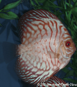 "Discus pigeon blood ""Tiger head"" 6/8 cm SG discus"