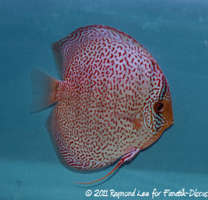 Discus 3rd categorie Red Spotted Singapour