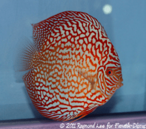 Discus 2nd categorie Turquoise Pattern / Stripes Singapour