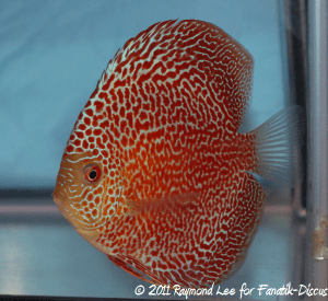 Discus 3rd categorie jeune adulte Pattern / Stripped / Spotted Singapour 2011