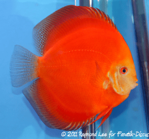Discus 2nd categorie Red/Brown Singapour
