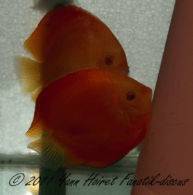 Ponte de discus Red Melon