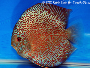 Discus red spotted snakeskin 3rd Malaysian discus show 2012